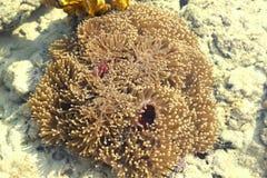 Zeeanemonen in het overzees Stock Afbeelding
