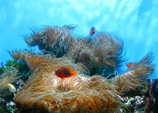 Zeeanemonen met anemonefish Royalty-vrije Stock Fotografie
