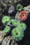 Zeeanemoon in aquarium in Spanje. stock afbeeldingen