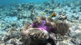 Zeeanemoon en clownfishes langs de Maledivische ertsader, stock video
