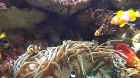 Zeeanemoon en wilde vissen stock footage