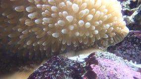 Zeeanemoon, het Overzeese Leven, Onderwater, Aard stock videobeelden