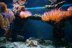 Zeeanemoonsinaasappel onderwater stock foto
