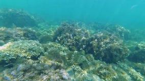 Zeebedding in het overzees met zeewier en blauw water op de actiecamera met de ogen van een duiker stock videobeelden
