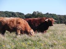 Zeegse高地母牛3 库存图片
