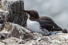 Zeekoetzitting op het nest van de klippenrichel Royalty-vrije Stock Foto's