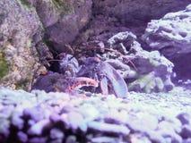 Zeekreeft bij de bodem van de vissentank stock foto's