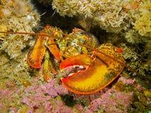 Zeekreeft in koraalrif Stock Afbeeldingen