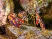 Zeekreeft in koraalrif stock afbeelding
