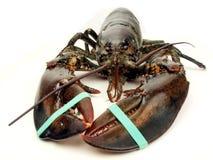 Zeekreeft - levende dichte omhooggaand Royalty-vrije Stock Foto's