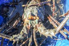 Zeekreeft op het strand van Los Cobanos Stock Afbeeldingen