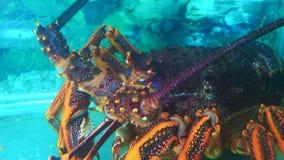 Zeekreeftrivierkreeften onderwater stock videobeelden