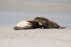 Zeeleeuw stock fotografie