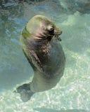 Zeeleeuw bij het Aquarium stock fotografie