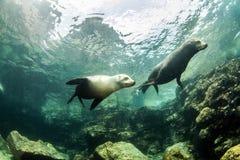 Zeeleeuw bij La Paz, Mexico royalty-vrije stock fotografie