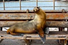 Zeeleeuw, de Eilanden van de Galapagos, Ecuador Stock Fotografie