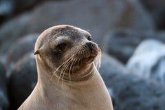 Zeeleeuw in de Eilanden van de Galapagos royalty-vrije stock foto