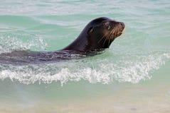Zeeleeuw die in de oceaan in de Eilanden van de Galapagos zwemmen royalty-vrije stock afbeelding