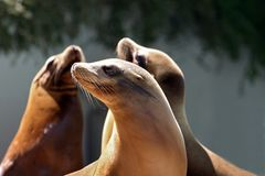 Zeeleeuw die een dutje nemen Royalty-vrije Stock Foto's