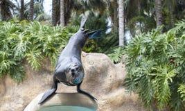 Zeeleeuw die een spel uitvoeren Stock Foto's