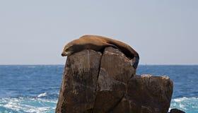 Zeeleeuw die en op Toprots op Landeind in Cabo San Lucas Baja California Mexico zonnen lounging Stock Afbeeldingen