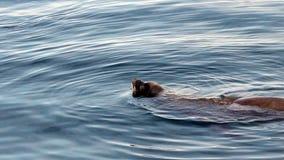 Zeeleeuw die lui in Zachte Golven Monterey Californië zwemmen stock videobeelden