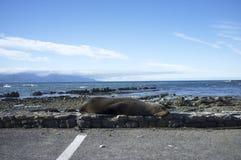 Zeeleeuw die naast een weg liggen Stock Foto's