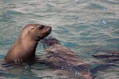 Zeeleeuw die over het water kijken royalty-vrije stock afbeeldingen
