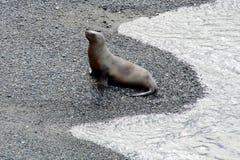 Zeeleeuw die uit water komen Stock Fotografie