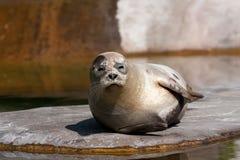 Zeeleeuw die van de zon geniet Royalty-vrije Stock Foto's