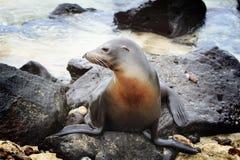 Zeeleeuw die van een sunbath genieten Stock Foto's