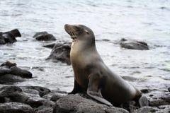 Zeeleeuw die van een sunbath genieten Stock Fotografie