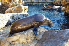 Zeeleeuw die voor voedsel in Marine Theme Park op Internationaal Aandrijvingsgebied 3 gillen royalty-vrije stock foto