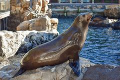 Zeeleeuw die voor voedsel in Marine Theme Park op Internationaal Aandrijvingsgebied 1 gilt stock fotografie