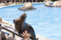 Zeeleeuw in een show met dieren in het aardpark van Cabarceno, Royalty-vrije Stock Foto's