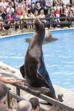 Zeeleeuw in een show met dieren in het aardpark van Cabarceno, Royalty-vrije Stock Fotografie