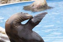 Zeeleeuw in een show met dieren in het aardpark van Cabarceno, Stock Foto