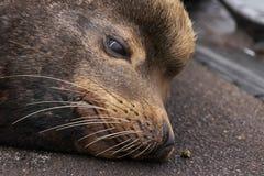 zeeleeuw het ontspannen op cement dichtbij dokken in Oregon royalty-vrije stock foto