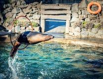 Zeeleeuw het springen Royalty-vrije Stock Foto