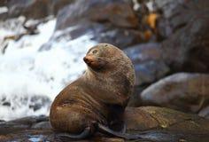 Zeeleeuw het stellen bij Otago-Kustlijn Royalty-vrije Stock Fotografie