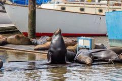 Zeeleeuw het stellen met anderen op pijler in Moss Landing Harbor, Monterey-Baai, Californië royalty-vrije stock foto's