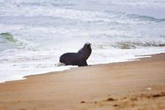 Zeeleeuw in het strand in de Skeletkust in Namibië royalty-vrije stock foto's