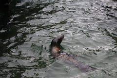 Zeeleeuw het zwemmen Stock Foto