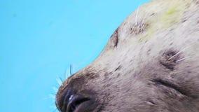 Zeeleeuw met grappige gezichtsclose-up stock footage