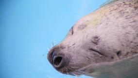 Zeeleeuw met grappige gezichtsclose-up stock video