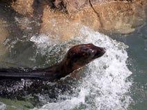 Zeeleeuw in motie stock afbeelding