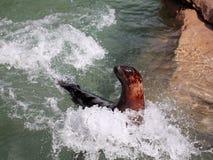 Zeeleeuw in motie stock fotografie