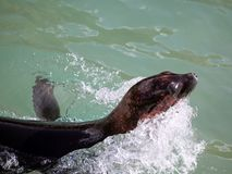 Zeeleeuw in motie Stock Foto