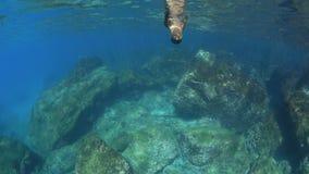 Zeeleeuw onderwater spelen stock video