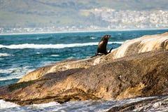 Zeeleeuw op een Rots Stock Fotografie